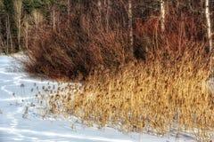 Nieve Forest Winter Outdoors de las cañas Foto de archivo libre de regalías