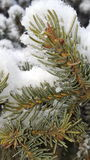 Nieve fresca del pino Fotografía de archivo libre de regalías