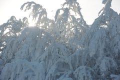 Nieve fresca en ramas Imagen de archivo libre de regalías