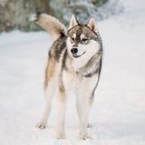 Nieve joven de Gray Husky Dog Barking Outdoor In Invierno Fotografía de archivo