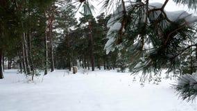 Nieve 4k del pino del árbol forestal del invierno almacen de video