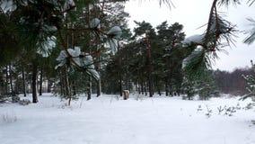 Nieve 4k del pino del árbol forestal del invierno almacen de metraje de vídeo