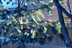 Nieve ligera en las ramas de una conífera imperecedera fotos de archivo