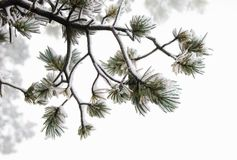 Nieve mojada pegajosa que se aferra en las ramitas del pino ponderosa Fotos de archivo