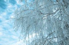 Nieve mullida blanca en el abedul blanco. Foto de archivo libre de regalías