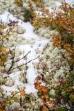 Nieve, musgo y arándanos Verano en las montañas de Altai, Rusia Imagenes de archivo