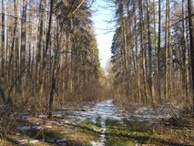 Nieve pasada en el bosque Imágenes de archivo libres de regalías