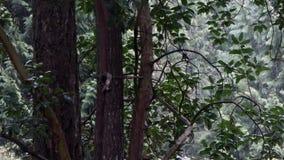 Nieve que cae abajo detrás de árbol del madrona en invierno almacen de video
