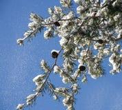 Nieve que cae de una ramificación del pino Fotografía de archivo