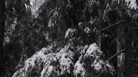 Nieve que cae en árboles de pino y sombras oscuras en tarde tempestuosa almacen de video