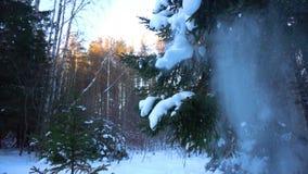Nieve que cae en las ramas de los abetos, c?mara lenta metrajes