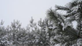 Nieve que cae en rama del pino; Copos de nieve que caen en una rama del pino Fondo de la Navidad, Año Nuevo almacen de video