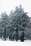 Nieve que cae en un bosque spruce Fotografía de archivo