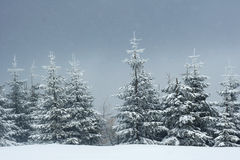 Nieve que cae en un bosque spruce Foto de archivo
