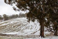 Nieve que cubre una ladera con los árboles y las pistas del ganado en Oberon Imagenes de archivo