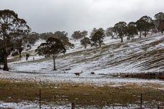 Nieve que cubre una ladera con los toros y los árboles de la montaña en Oberon Fotografía de archivo