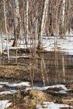 Nieve que derrite en bosque del abedul Foto de archivo libre de regalías