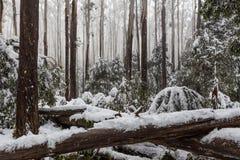 Nieve que pone en árboles y helechos caidos en el eucalipto australiano f Fotografía de archivo
