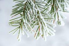 Nieve recogida en agujas del pino Fotografía de archivo