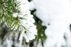 Nieve recogida en agujas del pino Foto de archivo