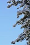 Nieve retroiluminada, cubierta sobre ramas de árbol de pino Imagen de archivo libre de regalías