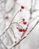 Nieve roja de Rowan Berries Covered With Fresh Imagen de archivo