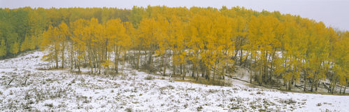 Nieve y álamos tembloses del otoño Fotografía de archivo