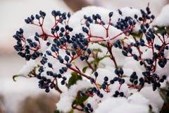 Nieve y bayas Foto de archivo libre de regalías