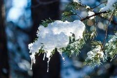 Nieve y carámbanos en la rama del pino ponderosa en Arizona Fotografía de archivo libre de regalías