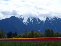 Nieve y tulipanes Fotografía de archivo