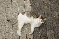 Nieważny kot z amputującą łapą fotografia royalty free