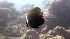 Niewiadomy dziwaczny rybi podwodny naturalny akwarium morze i ocean w Maldives zbiory wideo