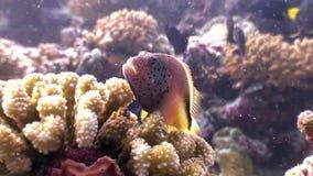 Niewiadomy dziwaczny rybi podwodny naturalny akwarium morze i ocean w Maldives zdjęcie wideo