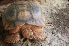 Niewidomy Sulcata Tortoise Zdjęcia Stock