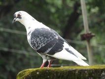 Niewinnie biały gołębi dopatrywanie Zdjęcia Royalty Free