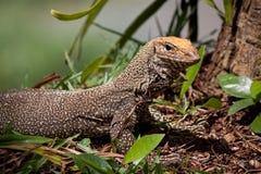 niewoli wielki jaszczurki reptilian bardzo obraz stock