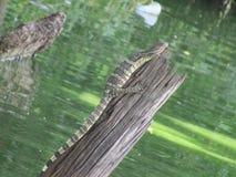 niewoli wielki jaszczurki reptilian bardzo zdjęcia royalty free