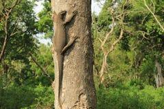niewoli wielki jaszczurki reptilian bardzo fotografia royalty free