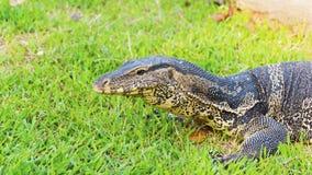 niewoli wielki jaszczurki reptilian bardzo zdjęcie royalty free