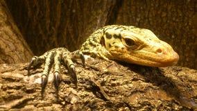 niewoli wielki jaszczurki reptilian bardzo Obraz Royalty Free