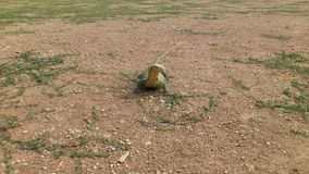 niewoli wielki jaszczurki reptilian bardzo fotografia stock