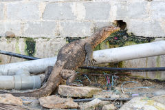 niewoli wielki jaszczurki reptilian bardzo zdjęcie stock