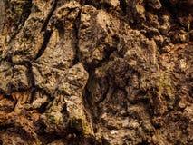 Niewygładzona barkentyna Stary Dębowy drzewo zdjęcie royalty free