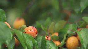 Niewygładzone, soczyste, pomarańczowe, jaskrawe, wyśmienicie morele na gałąź z wodnymi kroplami w ogródzie, Roślina w deszczu, za zbiory wideo