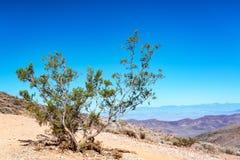 Niewygładzony drzewo w Śmiertelnej dolinie obraz stock