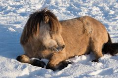 Niewygładzony Islandzki koński odpoczywać w zimnym śniegu obraz stock