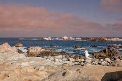Niewygładzony Kalifornia wybrzeże, Seagull i zdjęcie royalty free