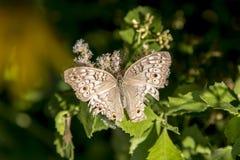 Niewygładzony motyl zdjęcia stock