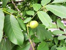 Niewyrobione owoc orzech włoski (Juglans regia) Zdjęcie Stock