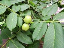 Niewyrobione owoc orzech włoski (Juglans regia) Obrazy Royalty Free